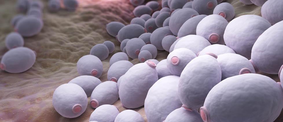 Bakterie Candida